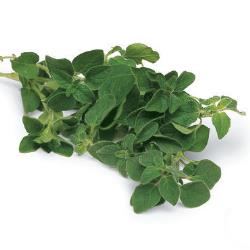 Oregano Plants for Sale: Buy Oregano Plants Online