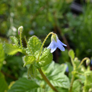 Buy Borago Pygmaea 'Pygmy Borage' | Herb Plant for Sale in 1 Litre Pot