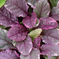 Buy Ajuga reptans 'Burgundy Glow', Bronze Bugle, Burgundy Glow | Buy Herb Plant Online in 9cm Pot