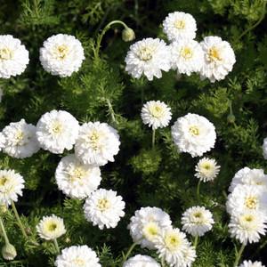 Buy Chamaemelum nobile 'Flore Pleno' Double Chamomile | Buy Herb Plant Online in 9cm Pot