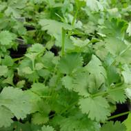 coriander cilantro