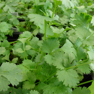 Buy Coriandrum sativum 'Cilantro' Coriander   Buy Herb Seeds Online