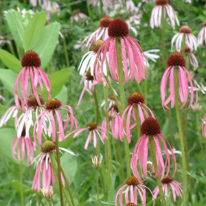 Buy Echinacea pallida | Buy Herb Plant Online in 1 Litre Pot