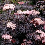 Buy Sambucus nigra f. porphyrophylla 'Eva' (PBR) 'Elder, Black' | Buy Herb Plant Online in 1 Litre Pot