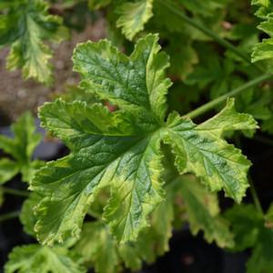 Buy Pelargonium 'Attar of Roses' Geranium Attar of Roses (1ltr Pot)