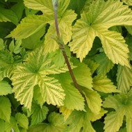 Buy Humulus lupulus 'Aureus' Hop Golden | Herb Plant for Sale in 1 Litre Pot