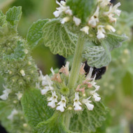 Buy Marrubium vulgare Horehound White | Potted Herb Plant | Hooksgreen Herbs