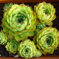Buy Sempervivum tectorum Houseleek | Buy Herb Plant Online in 9cm Pot