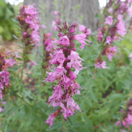 Buy Hyssopus Officinalis 'Roseus Hyssop Pink | Potted Herb Plant | Hooksgreen Herbs