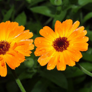 marigold pot calendula officinalis