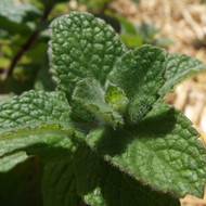 Mint, Bowles applemint (9cm Pot)