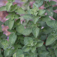 Buy Origanum vulgare 'Hot 'n spicy' Oregano 'Hot 'n Spicy' | Herb Plant for Sale in 9cm Pot