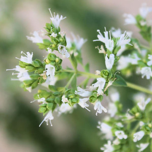 Buy Oreganum Vulgare 'White Charm' Oregano 'White Charm' | Buy Herb Plant Online in 9cm Pot
