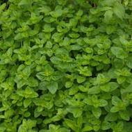 Buy Origanum onites 'Oregano Greek' | Herb Plant for Sale in 9cm Pot