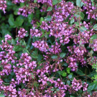 Buy Origanum laevigatum 'Hopleys' Oregano Hopley's Variety | Herb Plant for Sale in 1 Litre Pot