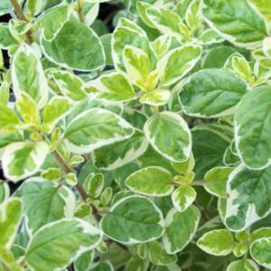 Buy Origanum vulgare 'Country Cream' Oregano Country Cream   Herb Plant for Sale in 9cm Pot