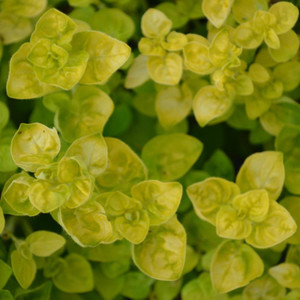 Buy Origanum vulgare 'Aureum Crispum' Oregano Golden Curly   Herb Plant for Sale in 9cm Pot