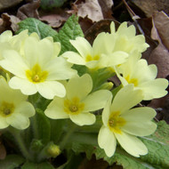 Buy Primula vulgaris 'Primrose' | Buy Herb Plant Online in 9cm Pot