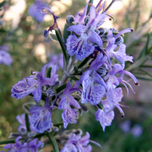 Buy Rosmarinus officinalis 'Fota Blue' Rosemary Fota Blue | Buy Herb Plant Online in 1 Litre Pot