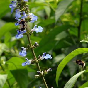 Buy Salvia uliginosa 'Sage Bog' | Buy Herb Plant Online in 1 Litre Pot
