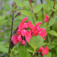 "Buy Salvia sp. ""Hooksgreen"" Sage Hooksgreen 