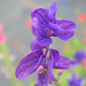 Buy  Painted Sage (Salvia viridis)  | Herb Plant for Sale in 9cm Pot