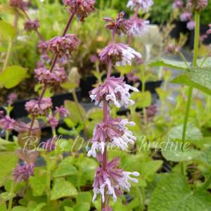 Salvia napifolia 'Baby Blue' | Sage Baby Blue  | Herb Plants Online