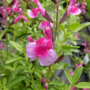 Salvia greggii 'Icing Sugar' | Sage Icing Sugar | Herb Plant