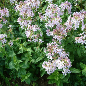 Buy Saponaria officinalis 'Soapwort' | Herb Plant for Sale in 1 Litre Pot