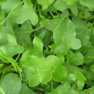 Buy Rumex scutatus 'Sorrel Buckler-Leaf' | Herb Plant for Sale in 9cm Pot