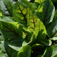 Buy Rumex sanguineus 'Red-Veined Sorrel' | Herb Plant for Sale in 9cm Pot