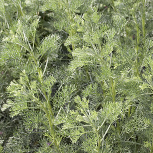 Buy Artemisia abrotanum 'Southernwood' | Herb Plant for Sale in 1 Litre Pot