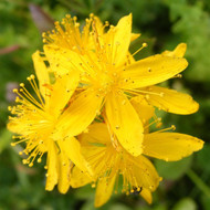 Buy Hypericum perforatum 'St. John's Wort' | Buy Herb Plant Online in 1 Litre Pot