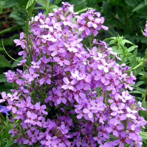 Buy Hesperis matronalis 'Purple' Sweet Rocket Purple | Buy Herb Plant Online in 1 Litre Pot