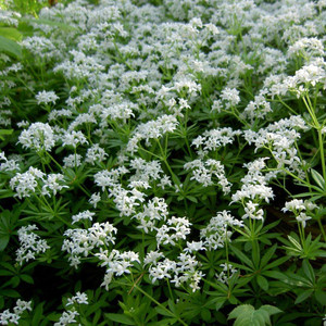 Buy Galium odoratum 'Sweet Woodruff' | Herb Plant for Sale in 9cm Pot