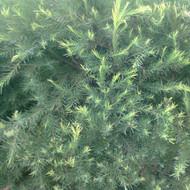 Buy Melaleuca alternifolia 'Tea Tree' | Herb Plant for Sale in 9cm Pot