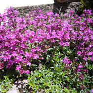 creeping red thyme