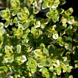 Buy Thymus 'Doone Valley' (v) Thyme Doone Valley | Herb Plant for Sale in 9cm Pot