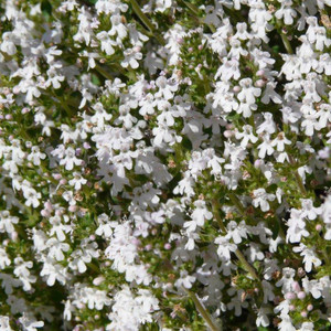 Buy Thymus 'Fragrantissimus' Thyme Orange Scented | Herb Plant for Sale in 9cm Pot