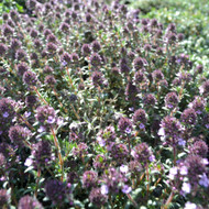 Buy Thymus nitidus 'Peter Davis' Thyme Peter Davis | Herb Plant for Sale in 9cm Pot