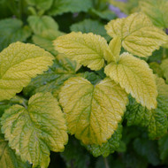 Buy Melissa officinalis 'All Gold' Lemon Balm, All Gold | Herb Plant for Sale in 9cm Pot