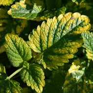 Buy Melissa officinalis 'Aurea' Lemon Balm, Variegated   Buy Herb Plant Online in 9cm Pot