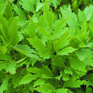 Buy Levisticum officinal 'Lovage' | Buy Herb Plant Online in 1 Litre Pot