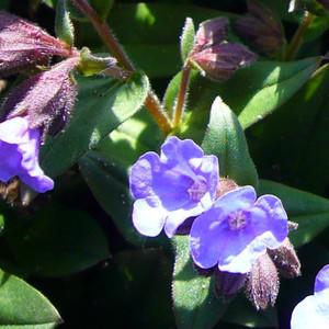 Buy Pulmonaria 'Blue Ensign' Lungwort, Blue Ensign | Potted Herb Plant | Hooksgreen Herbs