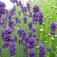 Buy Lavandula angustifolia 'Folgate' Lavender, Folgate (9cm Pot)