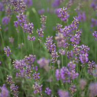 lavender fragrant memories