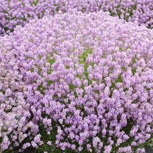 Buy Lavandula angustifolia 'Hidcote Pink'. Lavender Hidcote Pink | Herb Plant for Sale in 9cm Pot