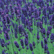 Buy Lavandula angustifolia 'Hidcote' Lavender Hidcote | Herb Plant for Sale in 9cm Pot