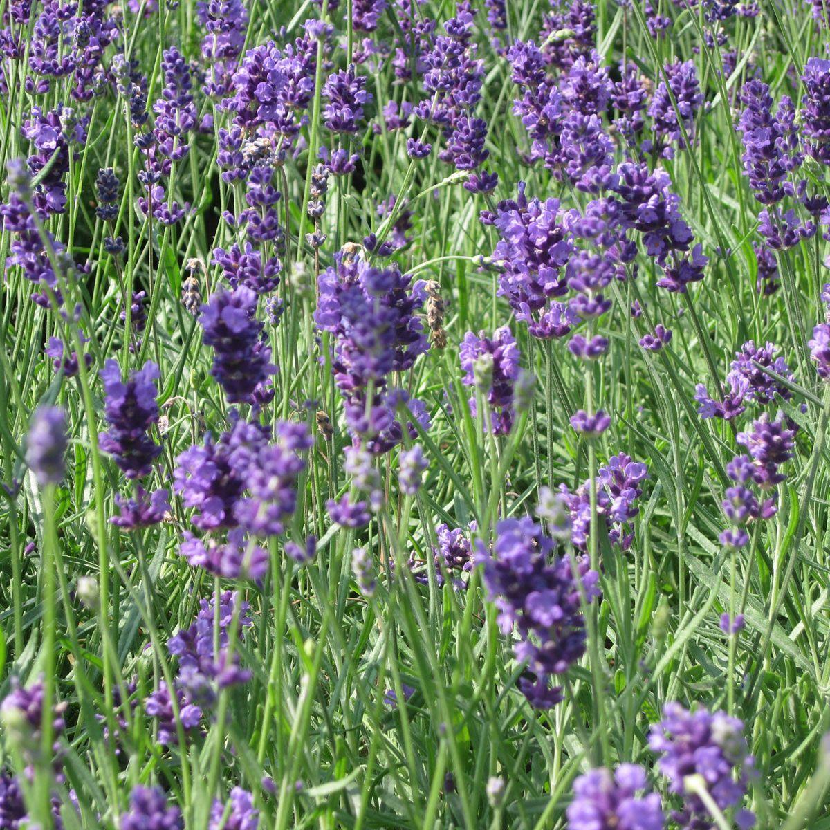 Lavender munstead 1l pot
