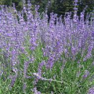 Buy Lavandula angustifolia 'Twickel Purple' Lavender 'Twickel Purple' | Herb Plant for Sale in 9cm Pot